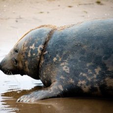 The famous Donna Nook seal known to all as 'Ropeneck'