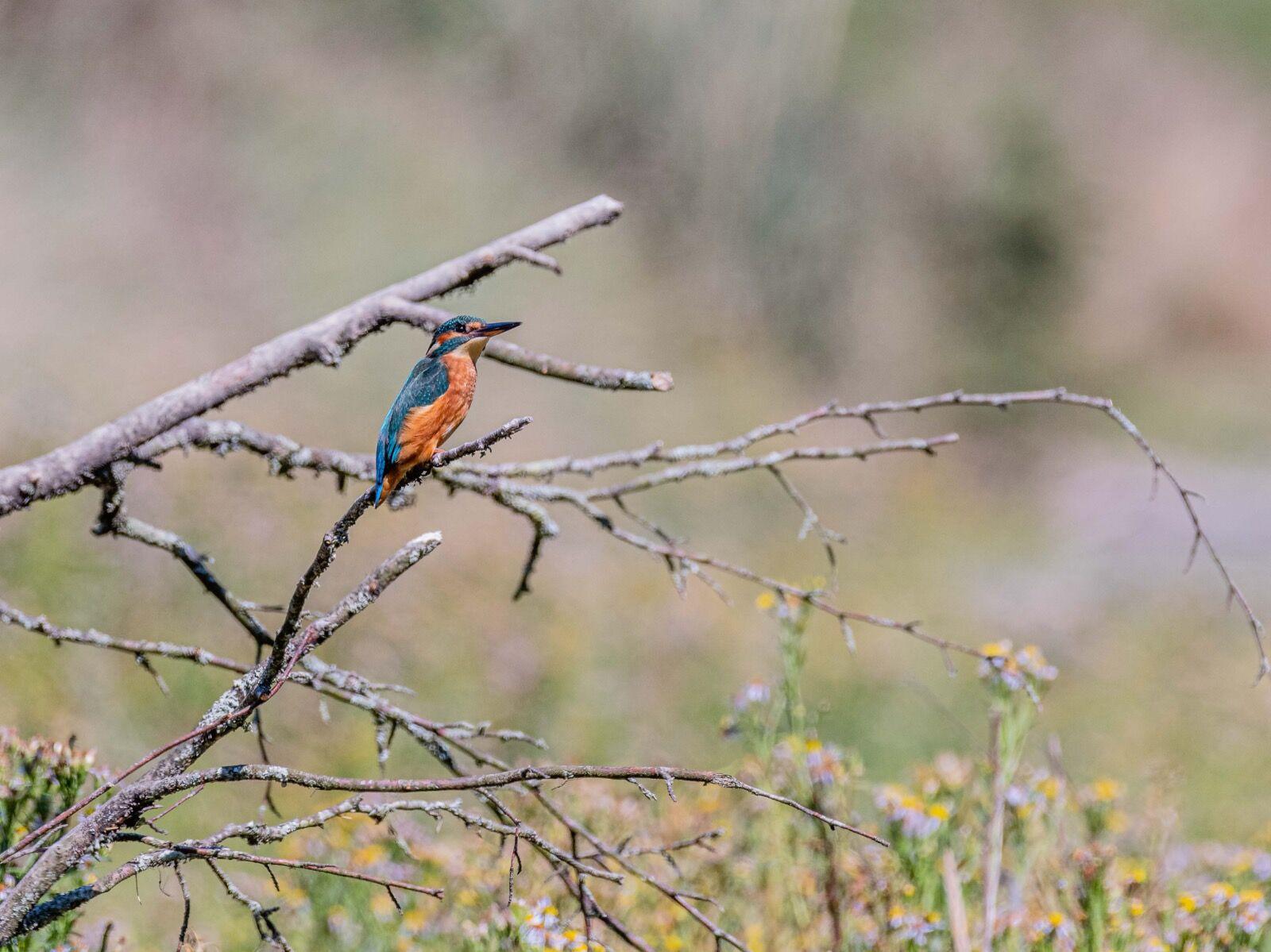 Kingfisher female-2843