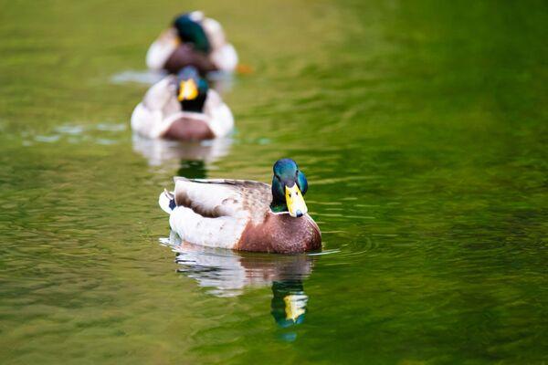 Mallard Duck-8757