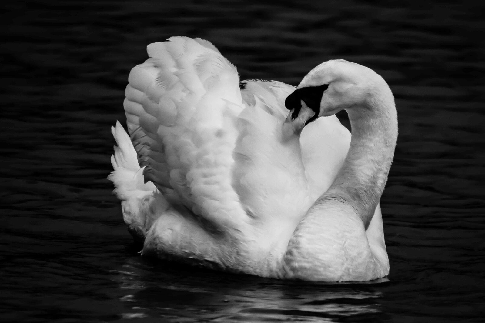 Swan-B&W-Stover-5