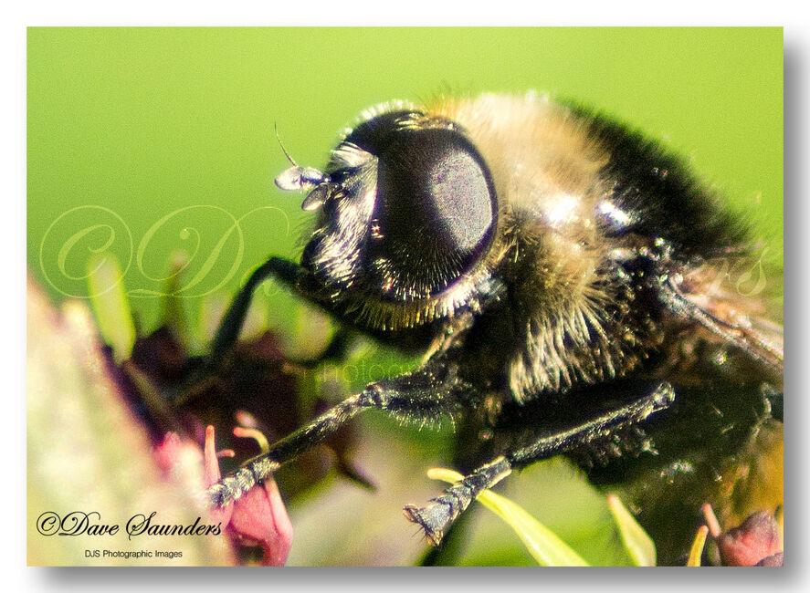 Field cuckoo bumblebee (Bombus campestris) Male