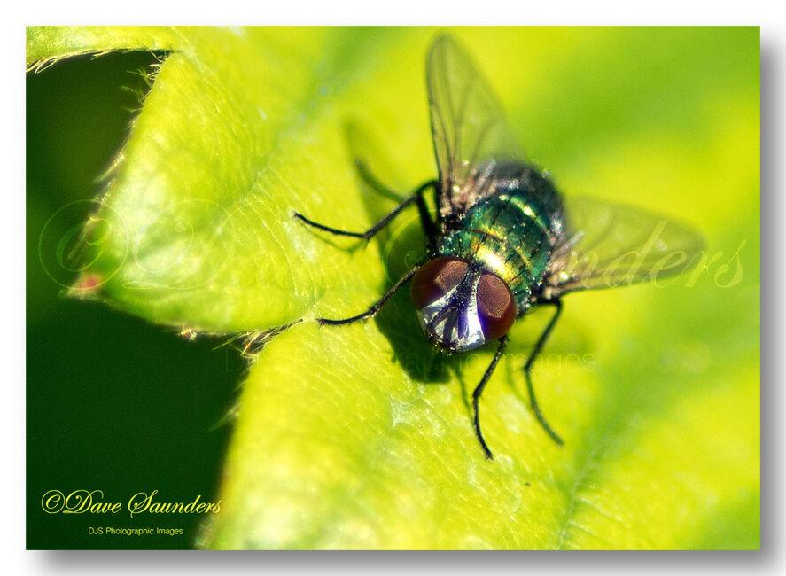 Green Parasitic Fly (Gymnocheta viridis)
