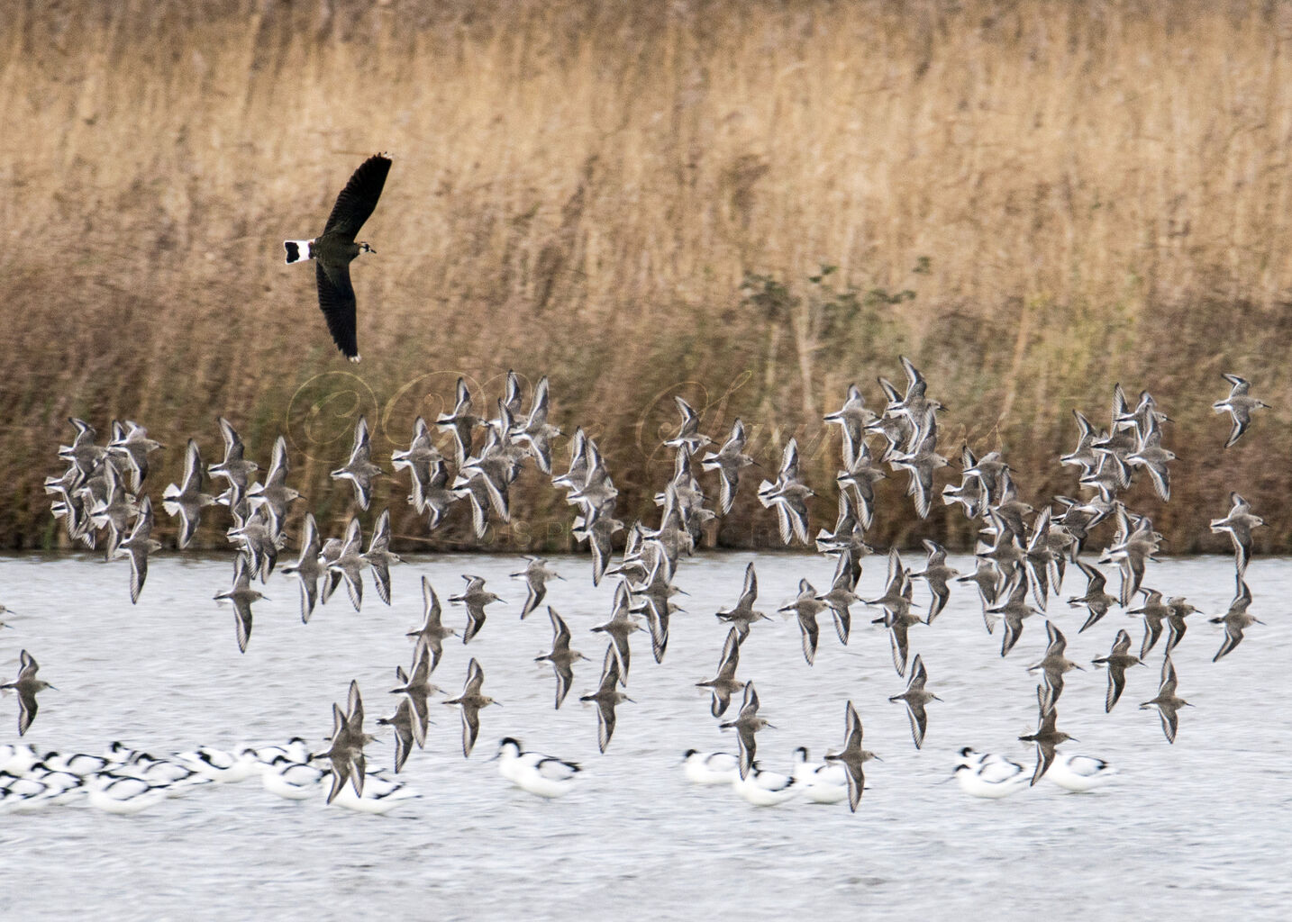 Dunlin and Lapwing in flight