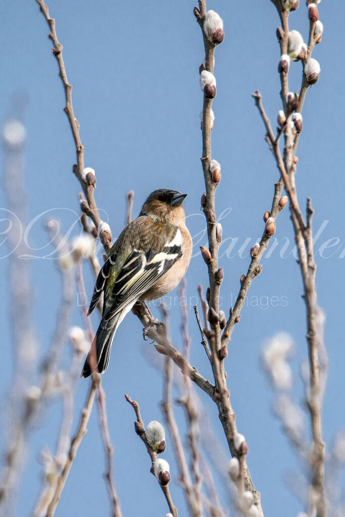 Springtime Chaffinch (Male)