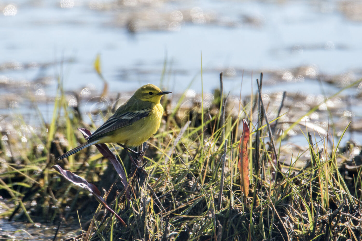Yellow Wagtail (Male)