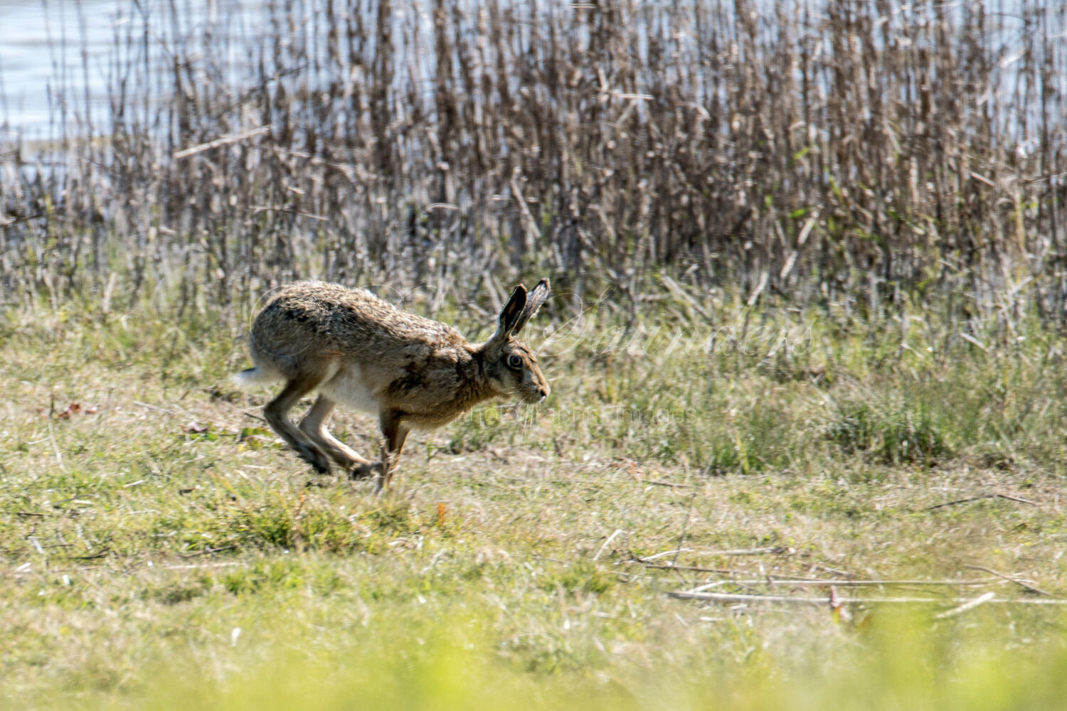 On the run (Brown Hare)