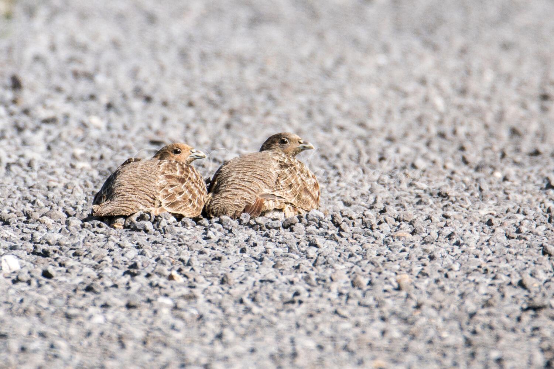 Grey Partridge pair