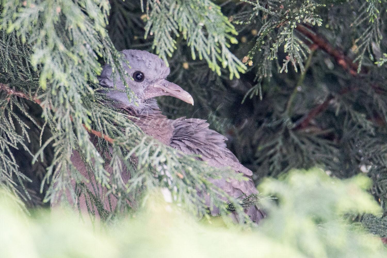 Wood Pigeon (Juvenile)