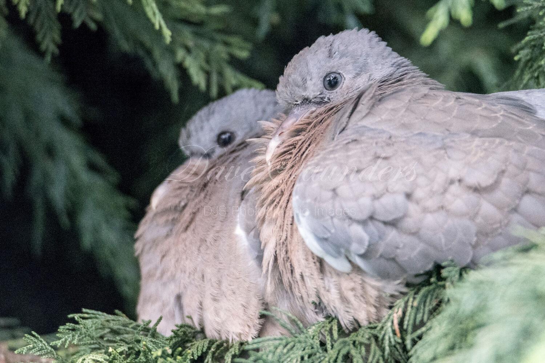 Wood Pigeon (Juvenile pair)