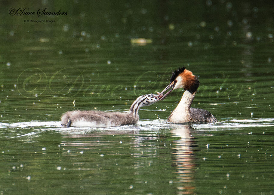 Great Crested Grebe feeding young
