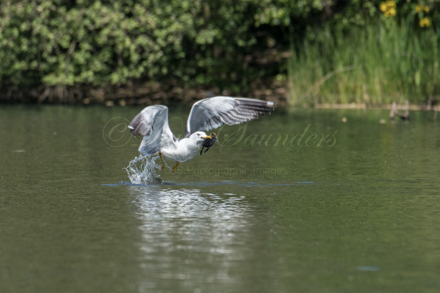 Lesser Black-backed Gull with Coot chick
