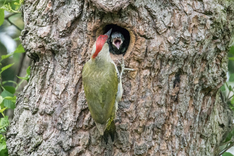 Green Woodpecker (Female) & nestling