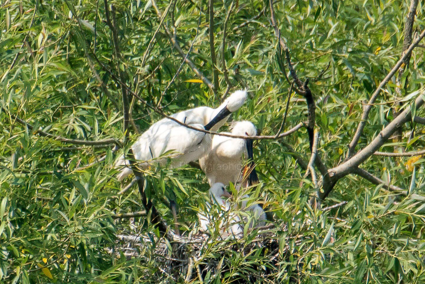 Spoonbills on tthe nest