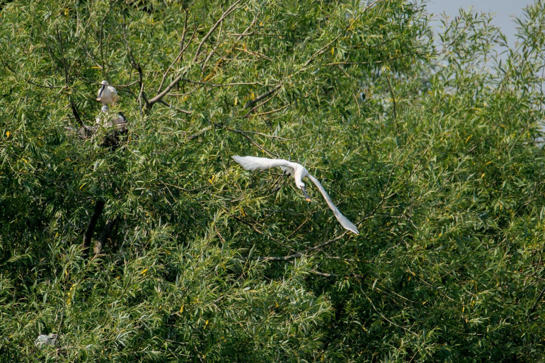 Take off! (Spoonbill in flight)