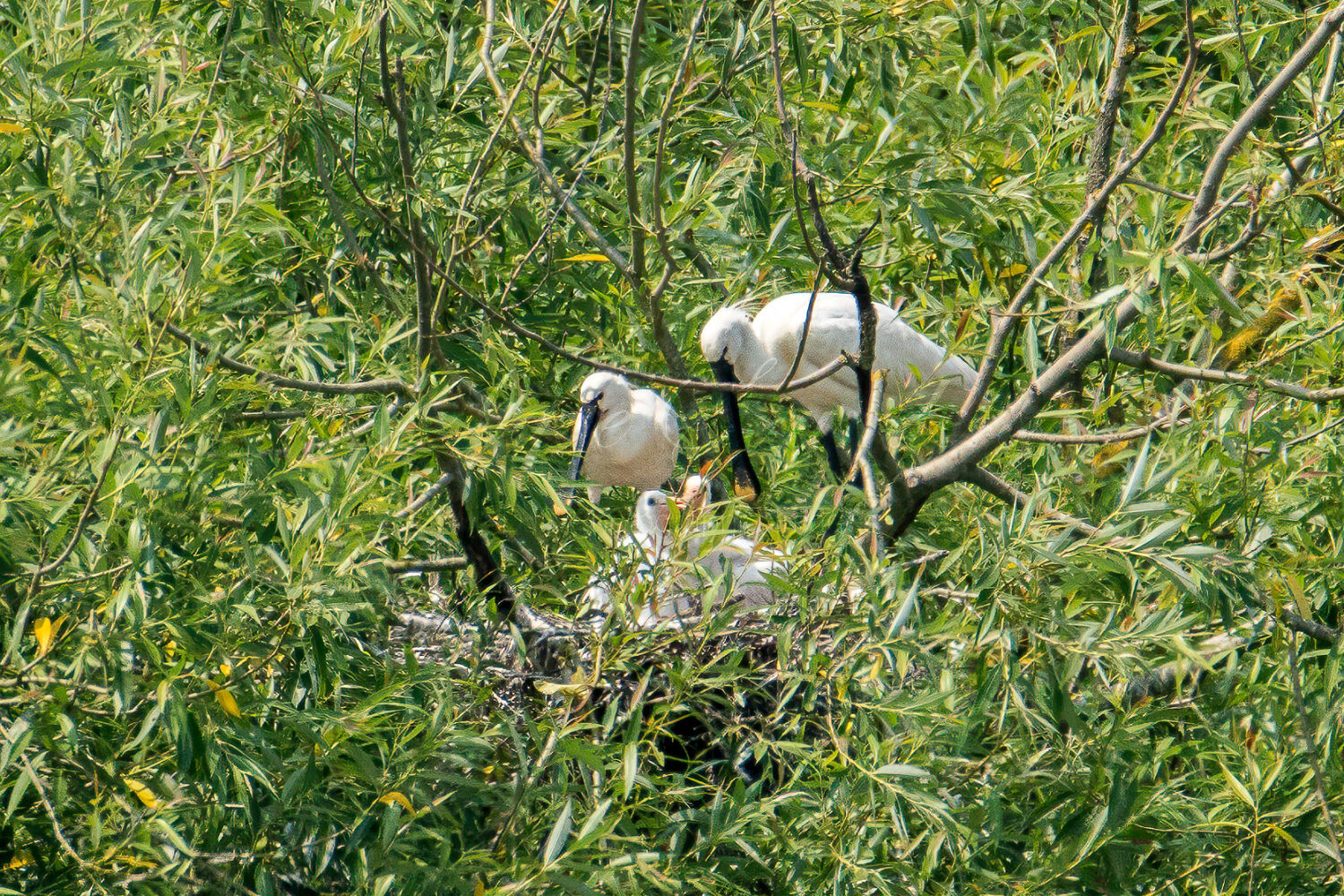 Spoonbill family on the nest
