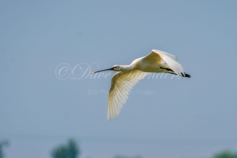 Spoonbill in flight
