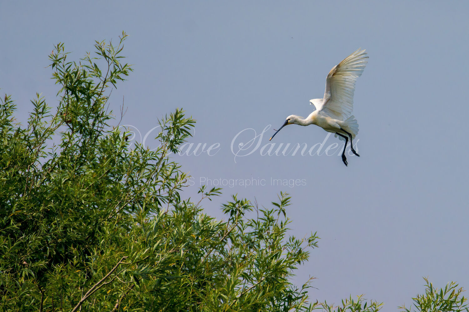Coming in to land (Spoonbill in flight)