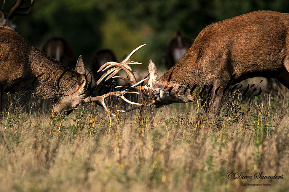 Rutting Red Deer Stags
