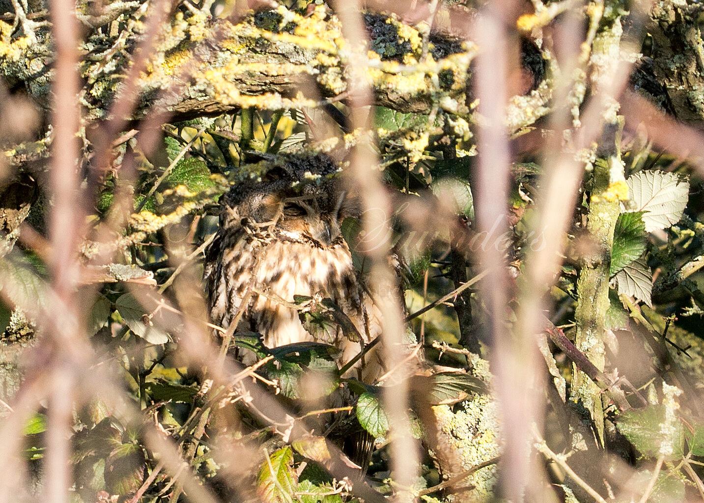 Long Eared Owl hiding