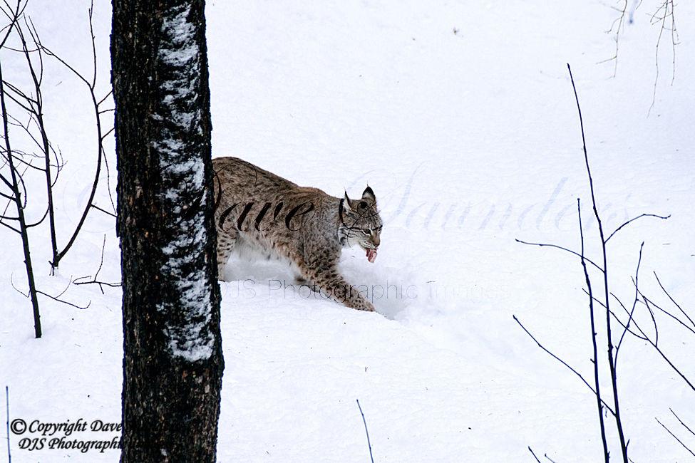 European Lynx