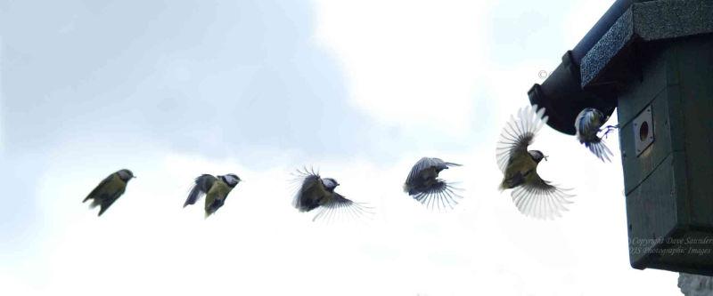 Blue Tit Flight Sequence.