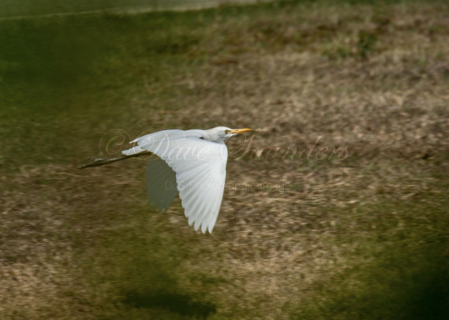 Western Cattle Egret (Bubulcus ibis) in flight
