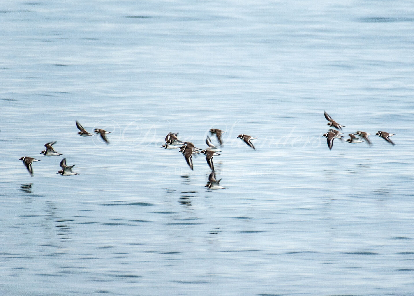 Common Ringed Plovers in Flight