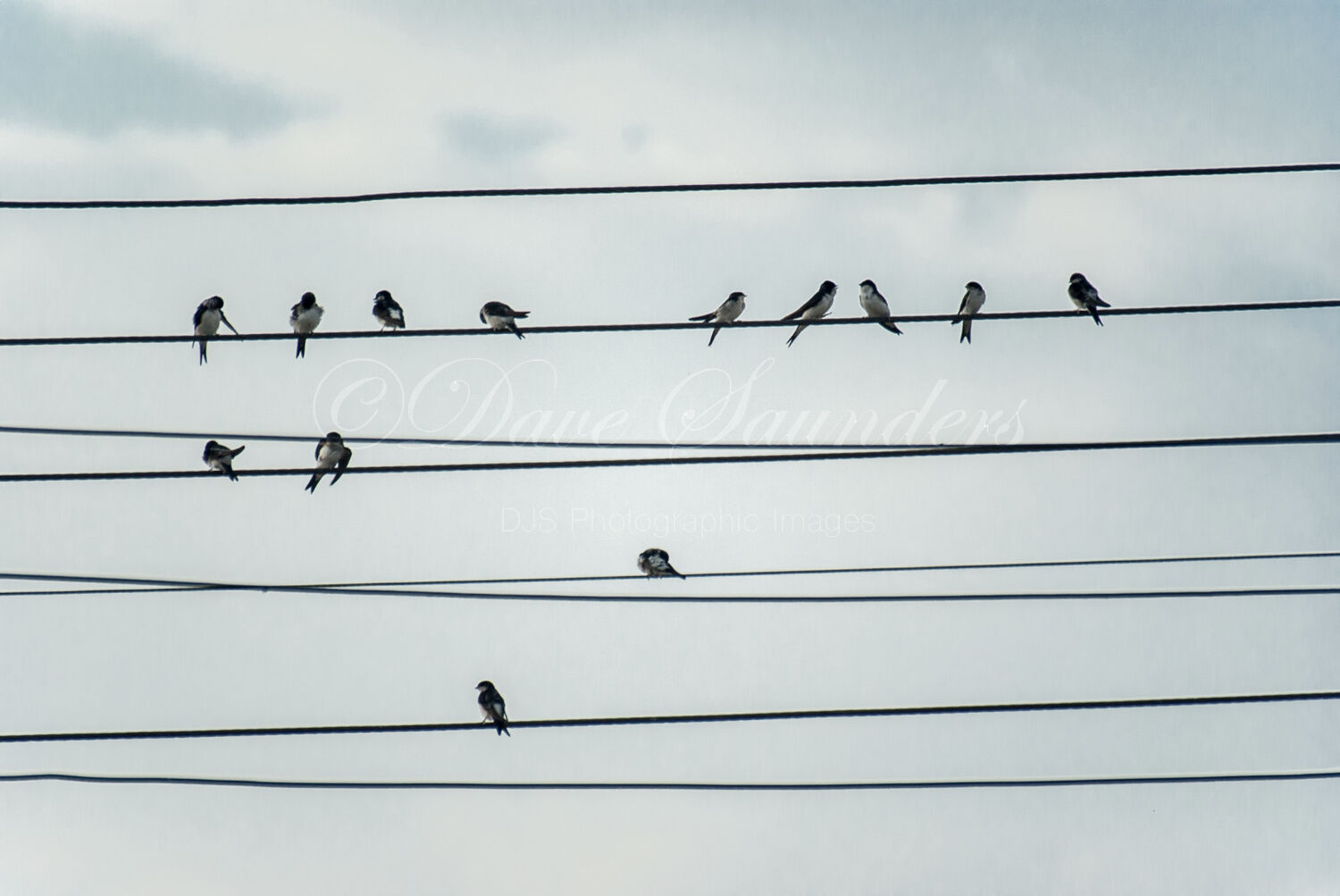Birds on a wire (House Martins)