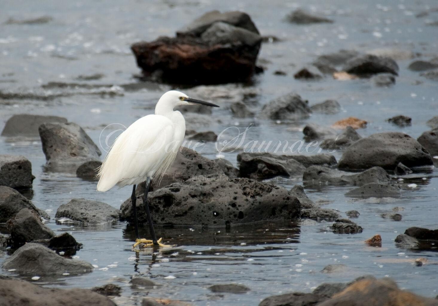 Little Egret-2