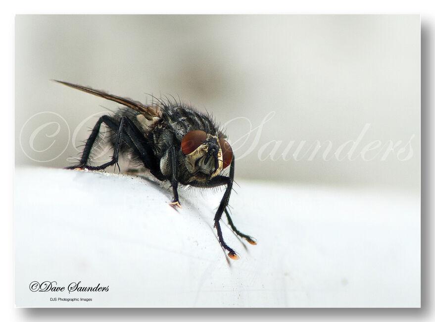 House Fly Polietes lardarius