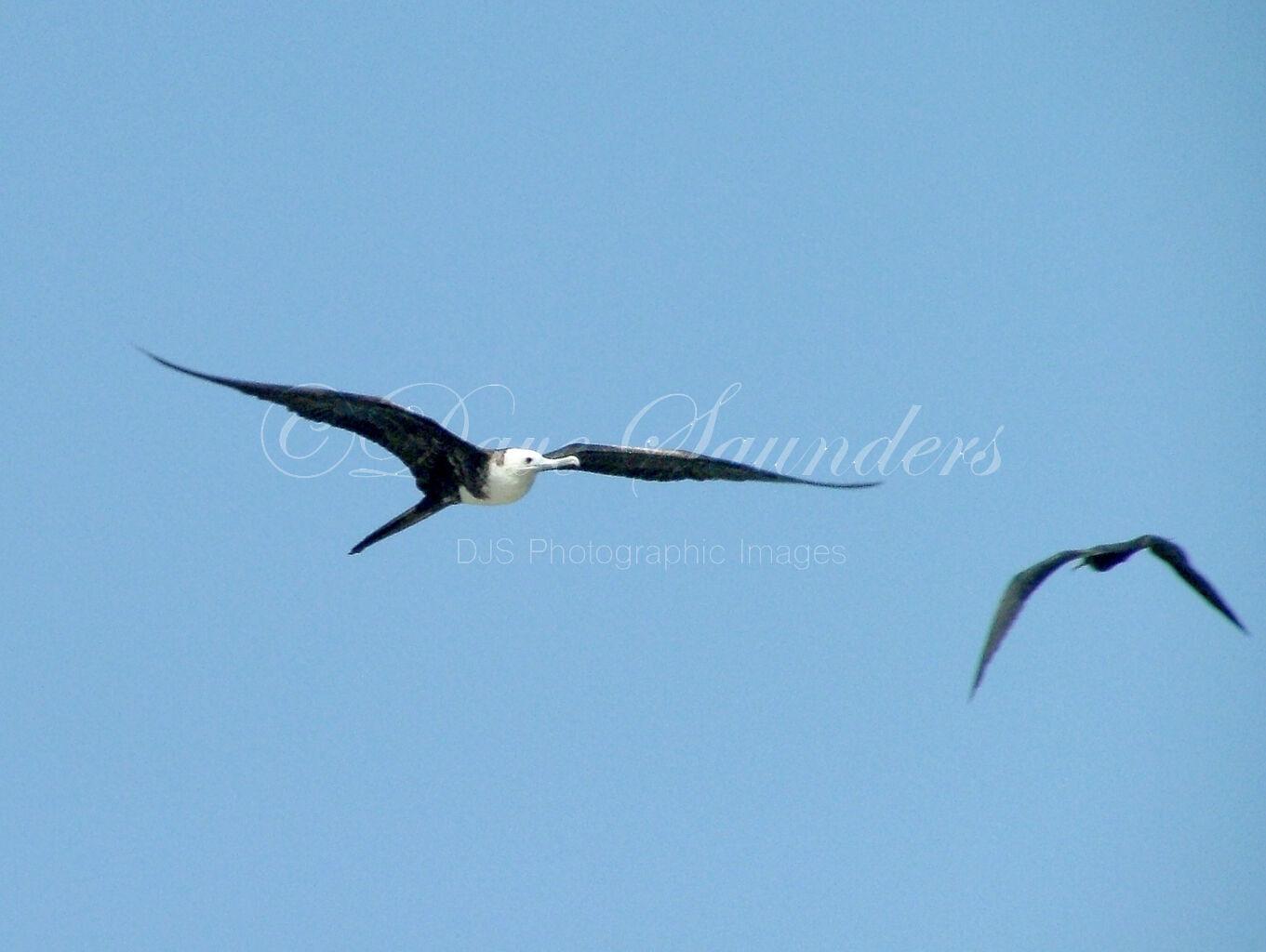 Magnificant Frigate Bird (Juvenile)