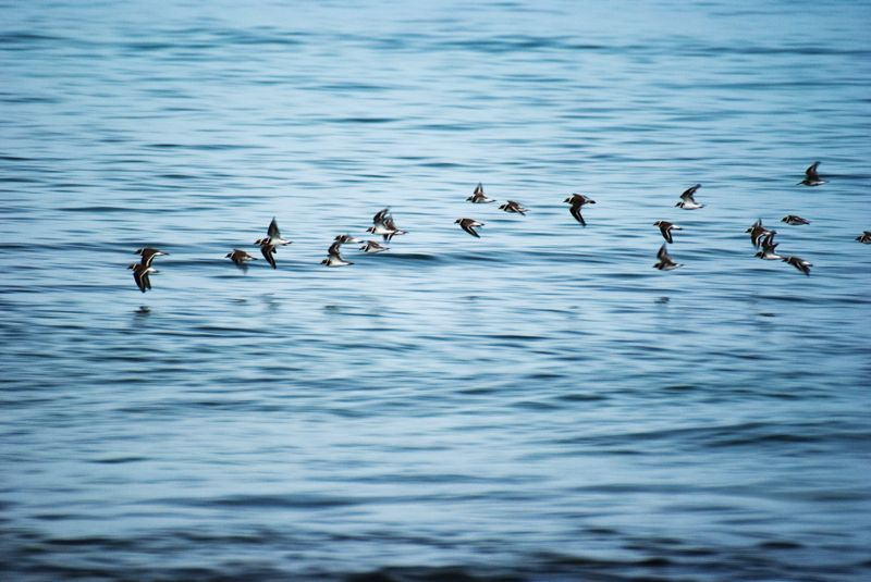Little Ringed Plovers in Flight