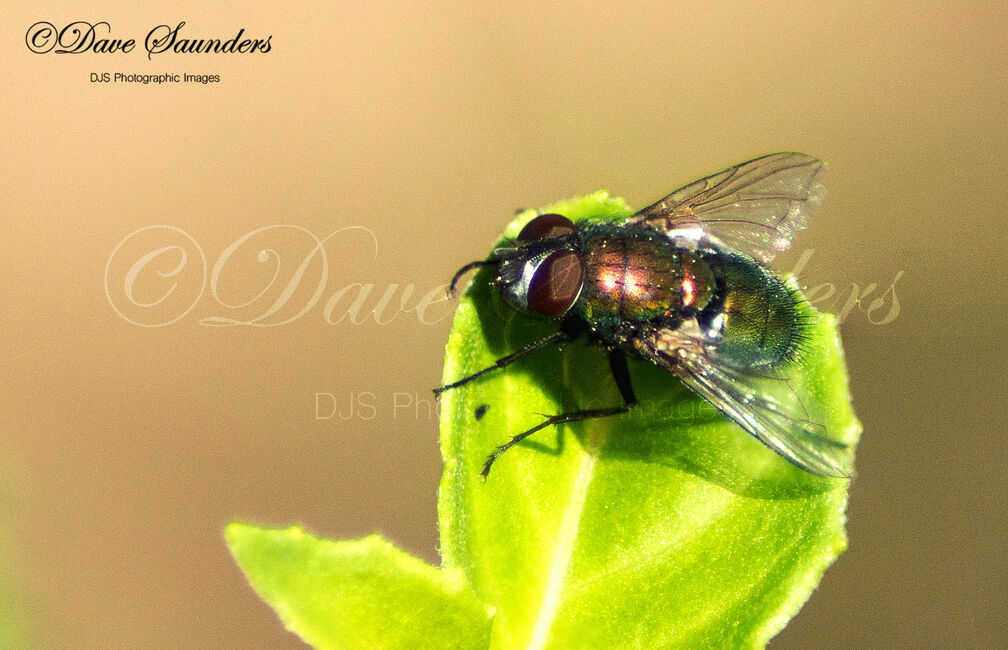 Green Parasitic Fly (Gymnocheta viridis)