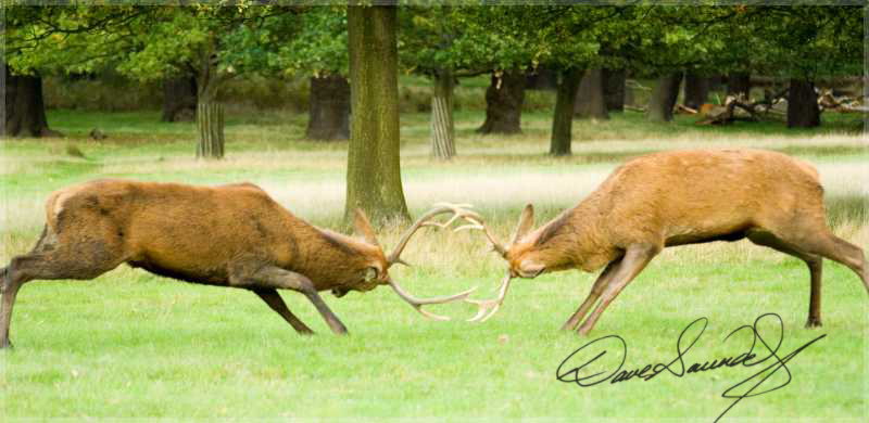 Rutting Red Deer.