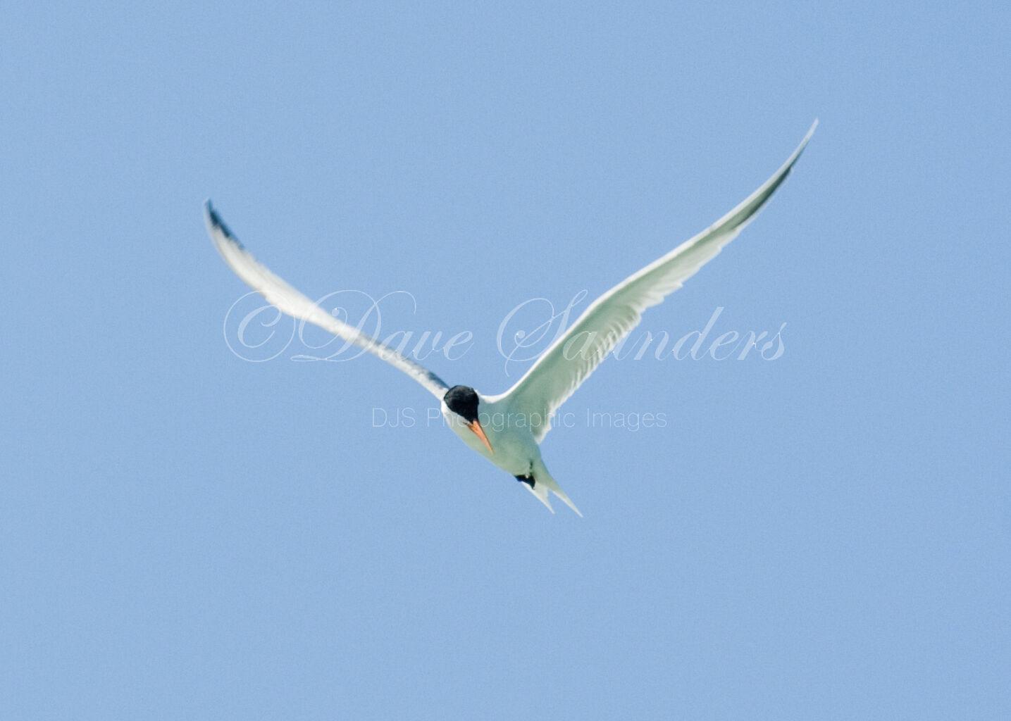 Common Tern (Sterna hirundo) in Flight