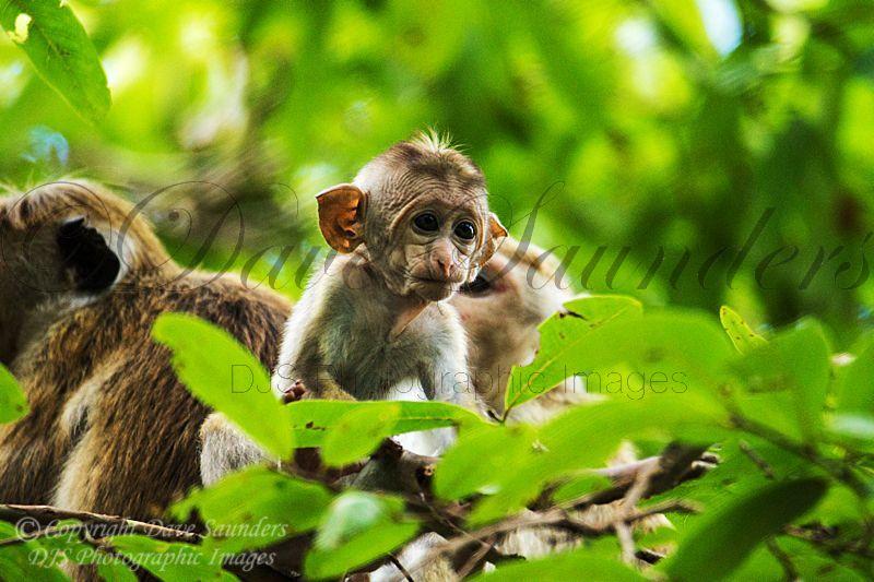 Toque Macaque (2)