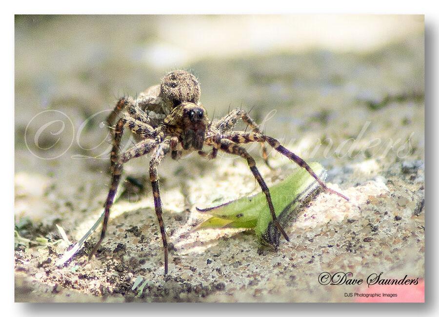 Spider (Unknown)