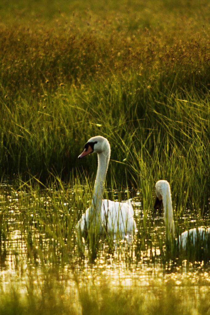 Evening Mute Swans