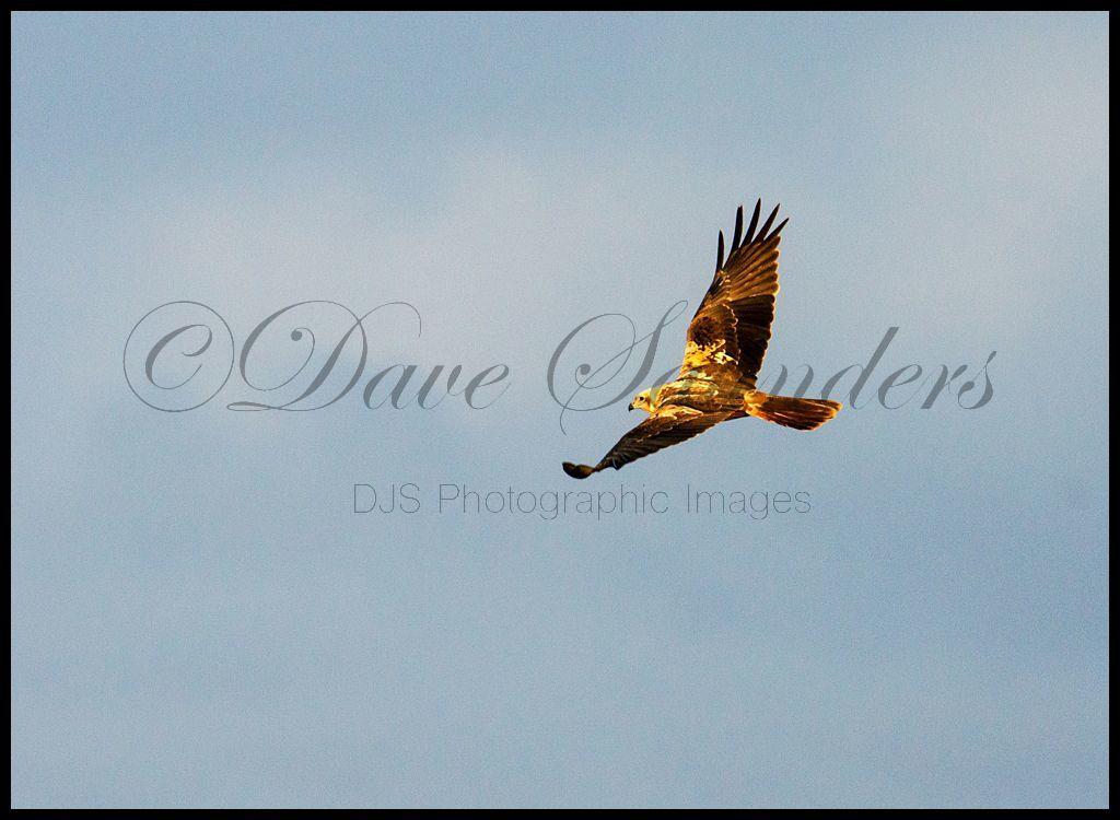 Soaring Marsh Harrier