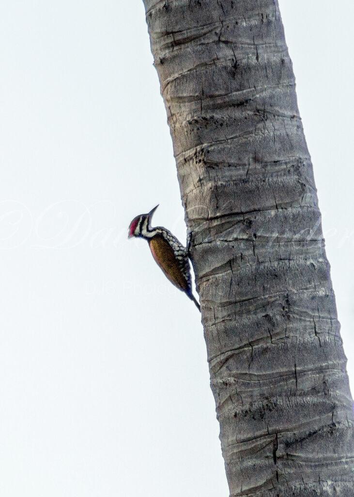 Flame Backed Woodpecker