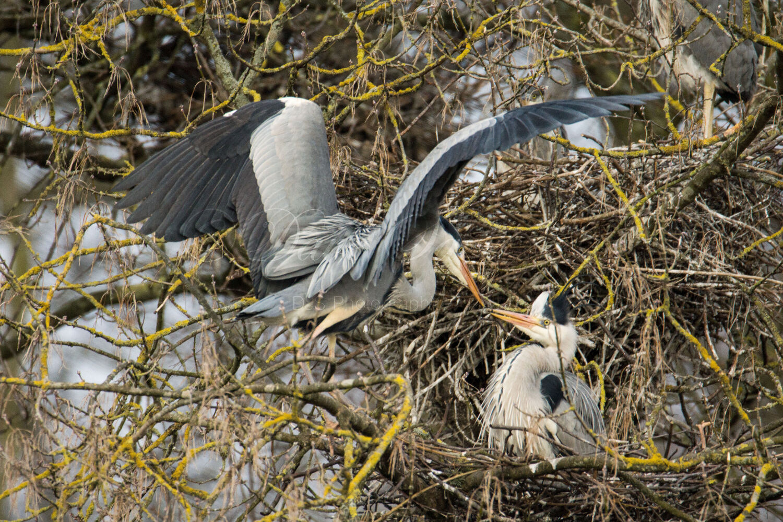 Grey Heron pairing