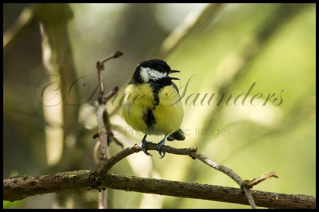 Singing Great Tit