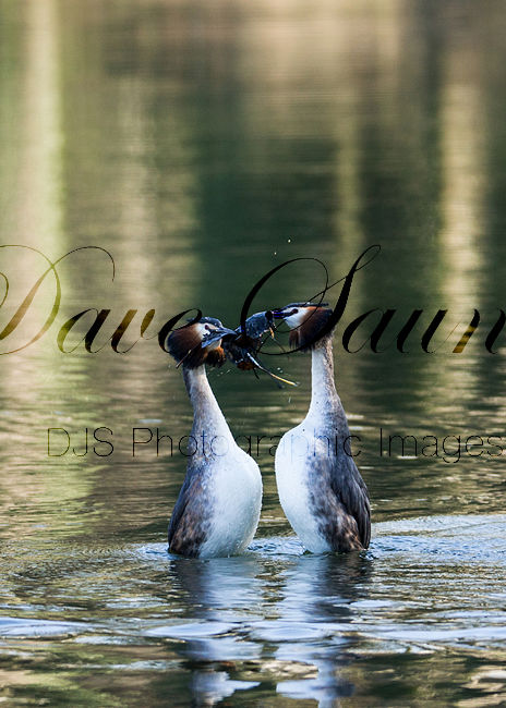 Great Crested Grebe mating dance