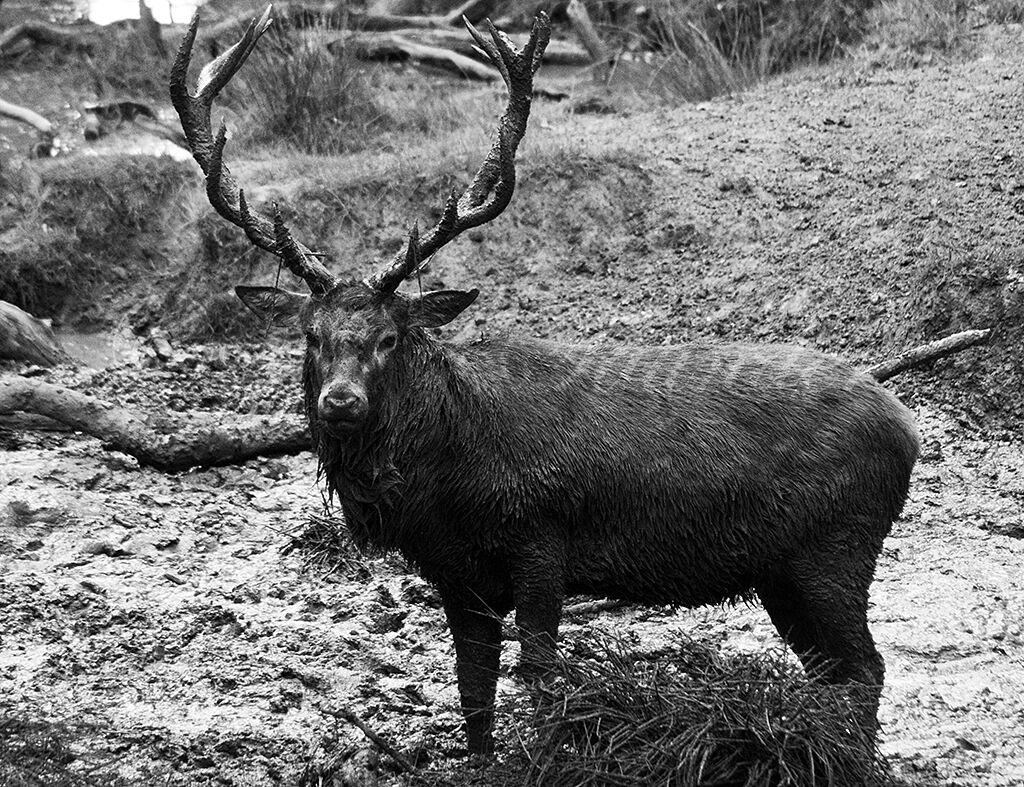 Red Deer Stag Mud Bath (BW)