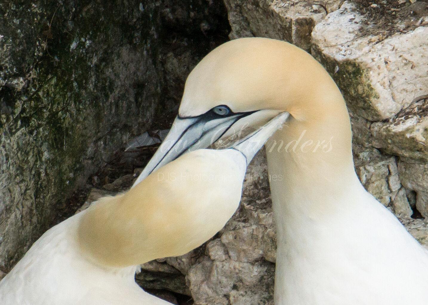 Gannet pairing