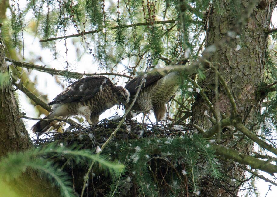 Sparrowhawks on the nest