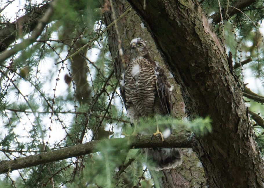 Sparrowhawk (Juvenile)