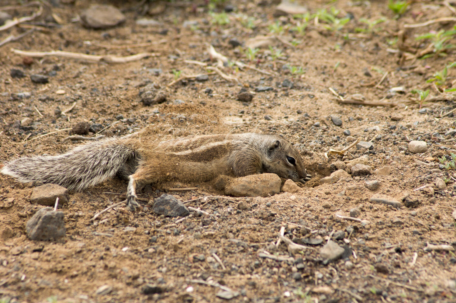 Barbary Ground Squirrel digging
