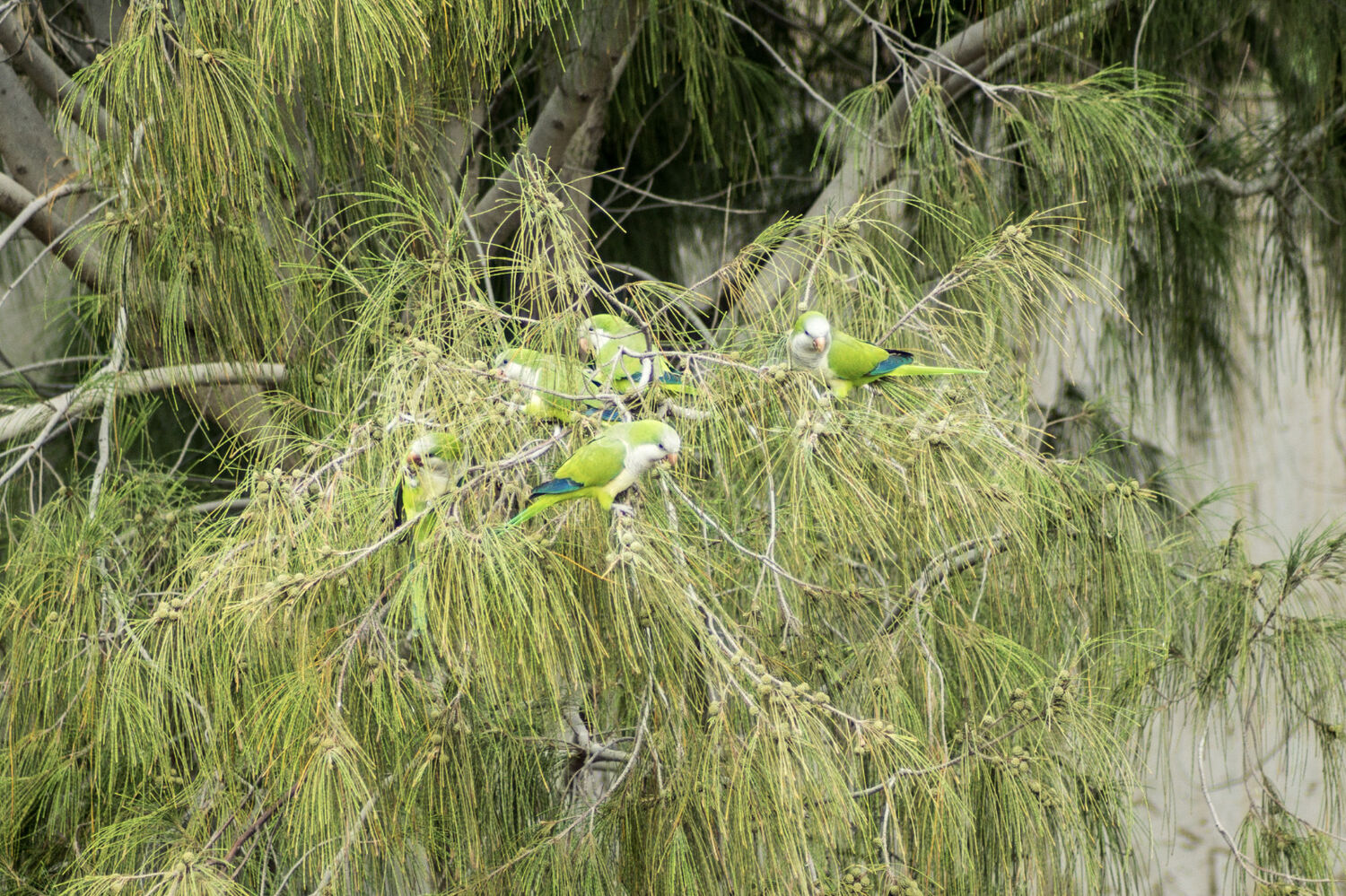 Monk Parakeet group