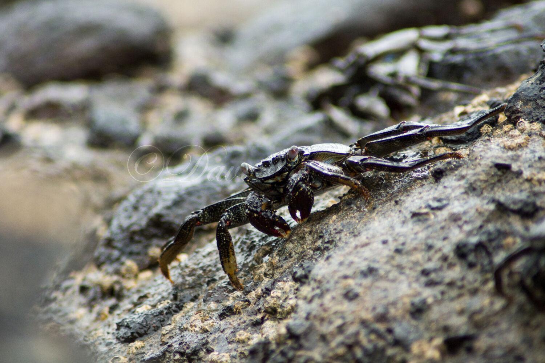 Sally Lightfoot Crab (Shore Crab)